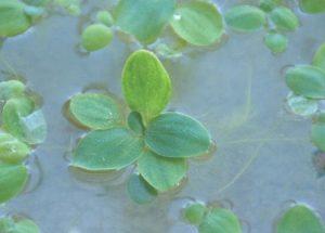 Dwarf Water Lettuce (Pistia Stratiotes)