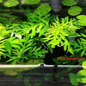 G'z 6 Best Floating Aquarium Plants