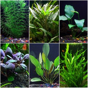 Goldfish Best Beginner Aquarium Plants