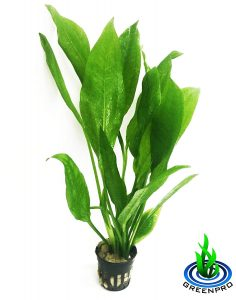 Greenpro Echinodorus Bleheri Amazon Sword Paniculatus Potted Live Aquarium Plants For Aquatic Freshwater Fish Tank