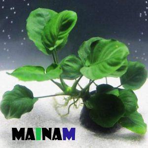 Mainam Anubias Barteri Coin Leaves Live Aquarium Plants Freshwater Rhizome